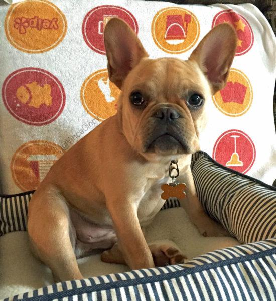 French Bulldog puppy  @vinceCincy   udandi.com